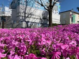 image1芝桜